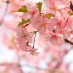 桜の名所で東北地方のランキング☆人気ベスト3はココ!