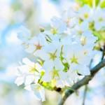 那須にある桜の名所はどんな所?一度は行きたい桜のスポット