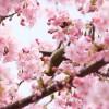 造幣局の桜の通り抜けはいつから楽しめる?営業時間やアクセスは?