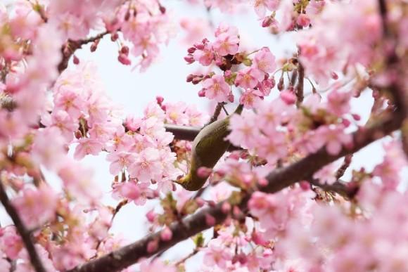 造幣局,桜の通り抜け,いつから