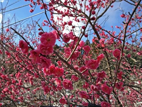 梅まつり,東京,おすすめ