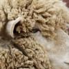 羊の毛刈りの時期って?なぜ毛刈りをするの?毛刈り体験情報など☆