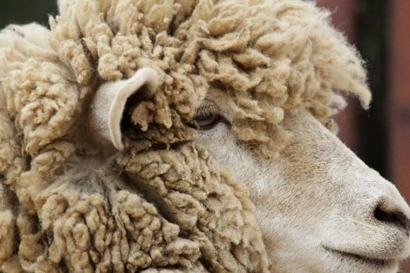 羊,毛刈り