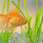 金魚☆金魚鉢で飼育したい!どうやったら長生きできる?