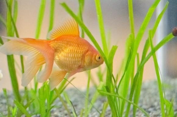 金魚 飼育